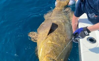 Huge Goliath Grouper early spring fishing with Maxed Out Fishing Charters